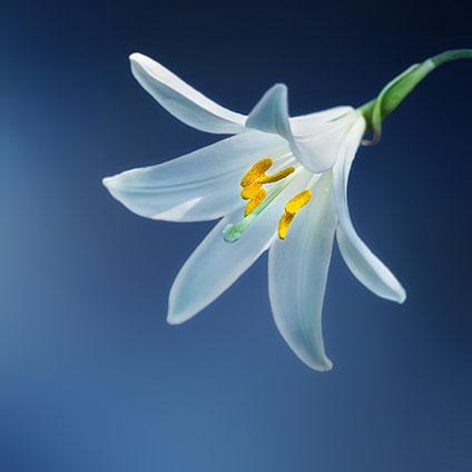 flower-lily-lilium-candidum-madonna-lily_424